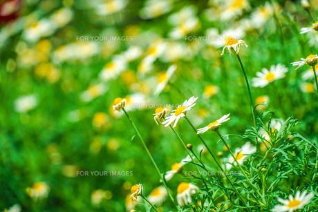 白と黄色の花(デイジー・マーガレット・カモミール)の写真素材 [FYI01245485]