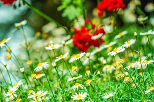 白と黄色の花(デイジー・マーガレット・カモミール)の写真素材 [FYI01245486]