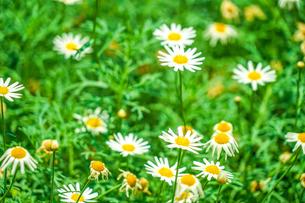 白と黄色の花(デイジー・マーガレット・カモミール)の写真素材 [FYI01245487]