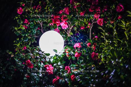 椿と光るオブジェの写真素材 [FYI01245512]