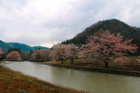 里山・桜・花冷えの写真素材 [FYI01245754]