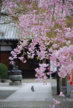 お寺の枝垂れ桜と猫の写真素材 [FYI01245856]