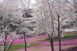 日本の桜と芝桜の写真素材 [FYI01245867]