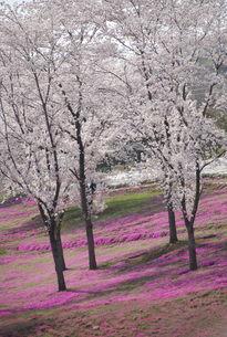日本の桜と芝桜の写真素材 [FYI01245869]