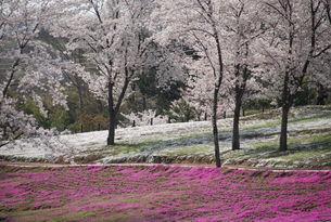 桜と芝桜の写真素材 [FYI01245871]