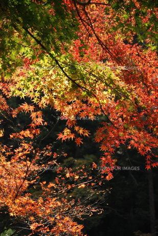 紅葉の写真素材 [FYI01245885]