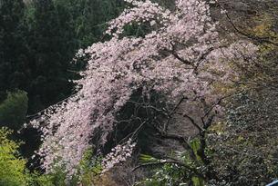 山の桜の写真素材 [FYI01245887]
