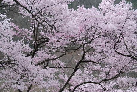 日本の桜の写真素材 [FYI01245891]