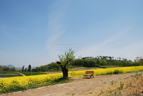 日本の田舎の菜の花畑の写真素材 [FYI01246061]