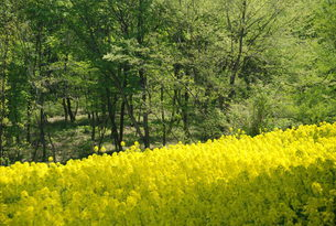 山林と菜の花畑の写真素材 [FYI01246062]