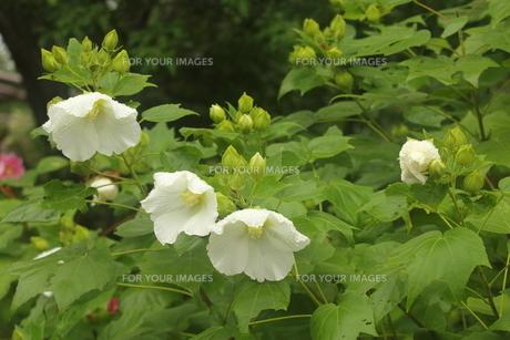 芙蓉の花の写真素材 [FYI01246148]