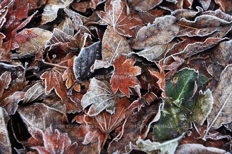霜が降りた落ち葉の写真素材 [FYI01246345]