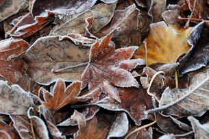 霜が降りた落ち葉の写真素材 [FYI01246346]
