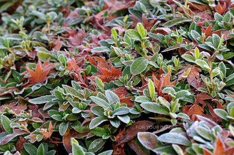 霜が降りた落ち葉の写真素材 [FYI01246349]
