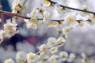 梅の花の写真素材 [FYI01246449]