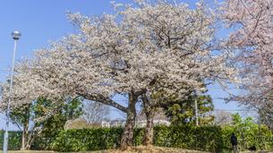 春の下りの野呂PAの桜の風景の写真素材 [FYI01246495]