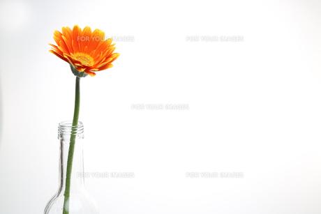 ガラス瓶に挿したガーベラの写真素材 [FYI01246532]