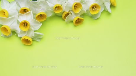 日本水仙の写真素材 [FYI01246543]