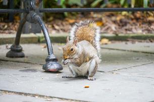 どんぐりを食べるリスの写真素材 [FYI01246644]