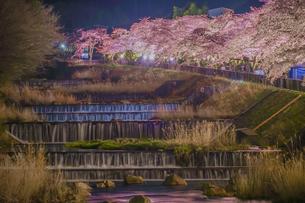 宮城野早川堤の桜の写真素材 [FYI01246674]