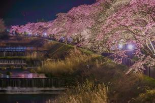 宮城野早川堤の桜の写真素材 [FYI01246675]
