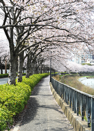 桜のトンネルの写真素材 [FYI01246788]