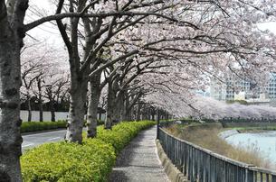 桜のトンネルの写真素材 [FYI01246789]
