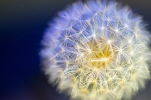 花火のような綿毛の写真素材 [FYI01246880]