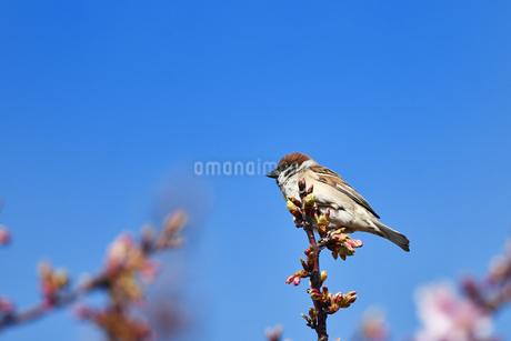 河津桜と雀の写真素材 [FYI01246882]