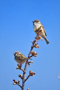 河津桜と雀の写真素材 [FYI01246883]