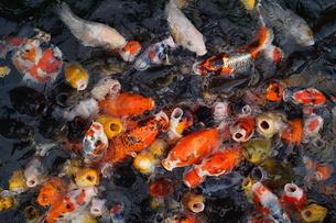 鯉のイメージの写真素材 [FYI01246895]