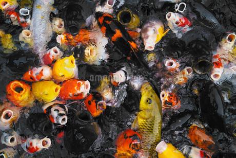 鯉のイメージの写真素材 [FYI01246896]