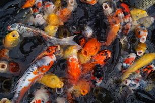 鯉のイメージの写真素材 [FYI01246898]