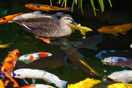 錦鯉とカモの写真素材 [FYI01246899]