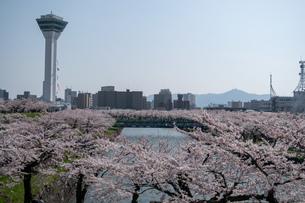 桜の五稜郭の写真素材 [FYI01246987]