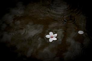 雨桜の写真素材 [FYI01247009]