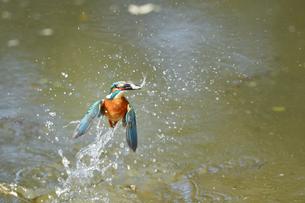 カワセミの捕食の写真素材 [FYI01247015]
