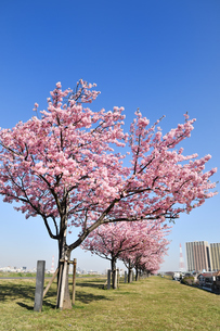 河津桜の並木の写真素材 [FYI01247046]