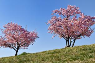 河津桜の並木の写真素材 [FYI01247047]