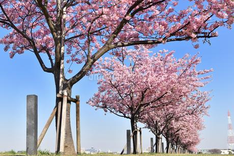 河津桜の並木の写真素材 [FYI01247048]