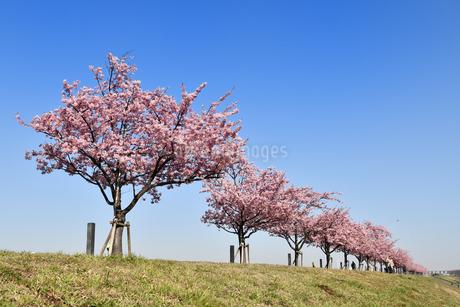 河津桜の並木の写真素材 [FYI01247049]
