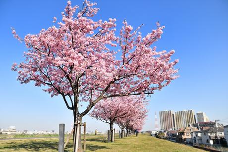 河津桜の並木の写真素材 [FYI01247050]