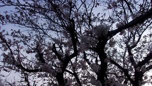 3月29日の桜の写真素材 [FYI01247134]