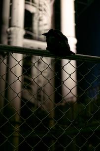 フェンスに止まるカラスの写真素材 [FYI01247400]