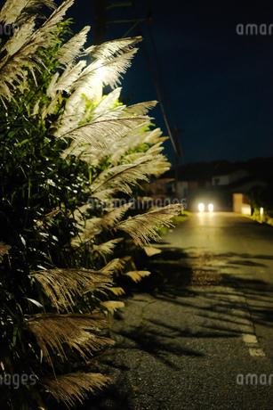街灯に照らされたすすきの写真素材 [FYI01247401]