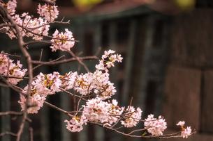桜1の写真素材 [FYI01247512]