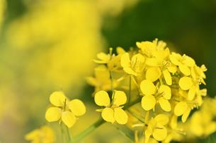 菜の花の写真素材 [FYI01247513]