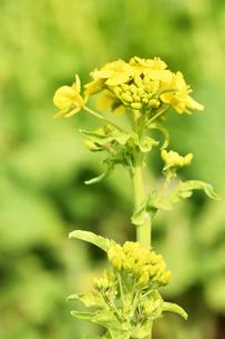 菜の花の写真素材 [FYI01247514]