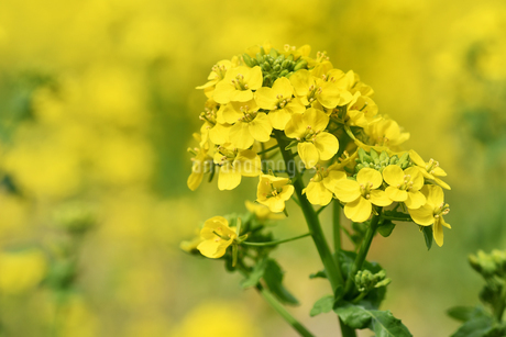 菜の花の写真素材 [FYI01247515]