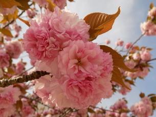 八重桜 「関山」 Sakura Cherry Blossom 「Sekiyama」「kanzan」 の写真素材 [FYI01247651]